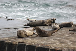 Seals on Brough Slipway