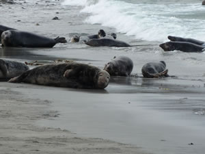 Wildlife Photgraphy of Seals in the Highlands of Scotland
