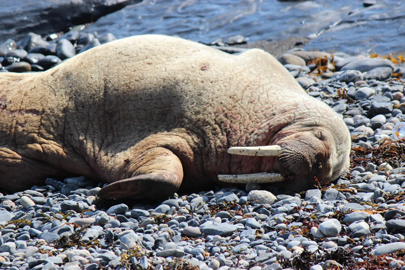 Walrus in Scotland